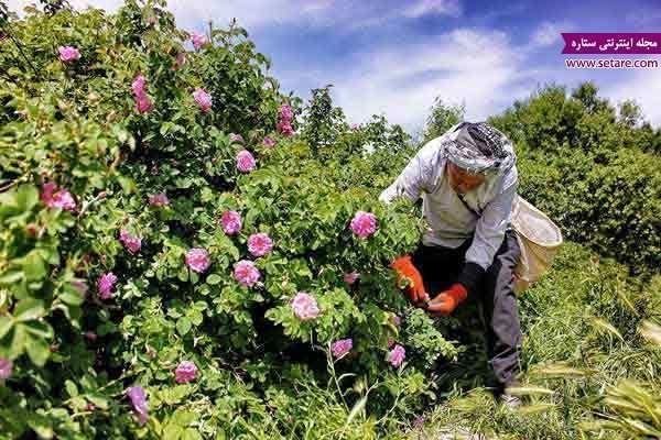 کاشان؛ بهشت گلاب گیری ایران