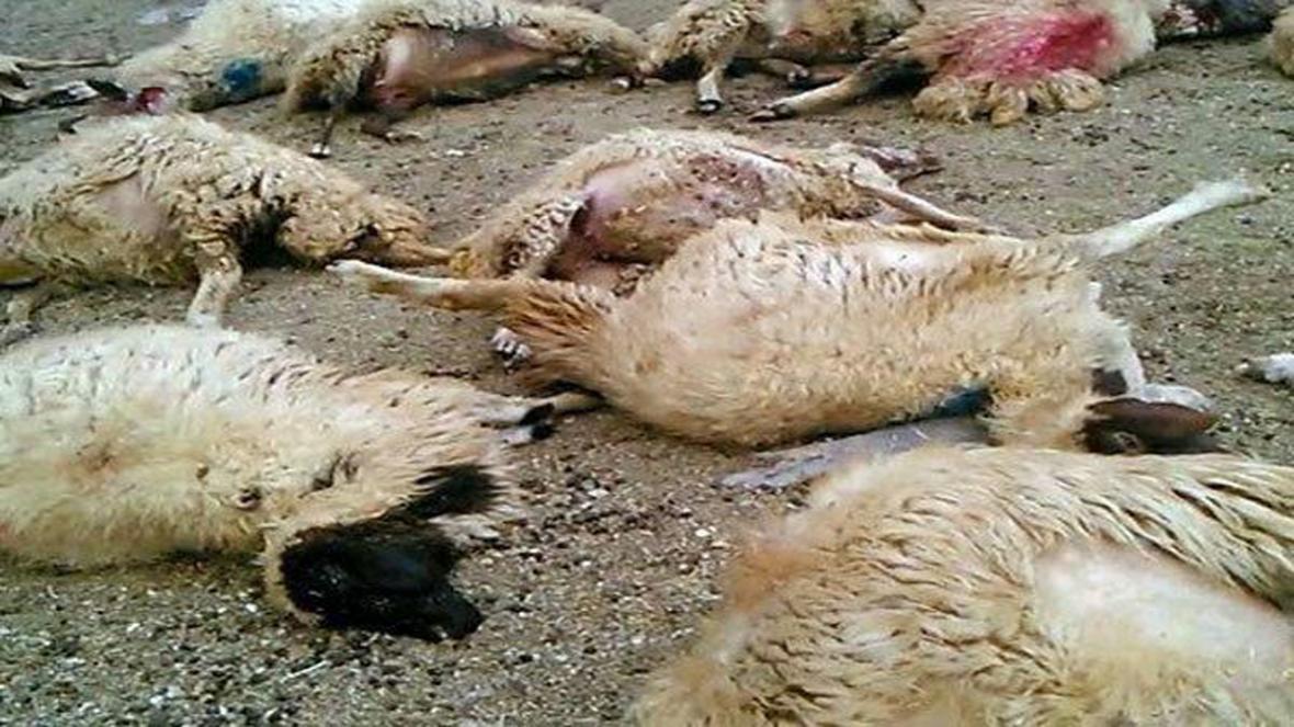 تلف شدن 12 راس گوسفند در تصادف پراید